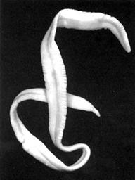 Схема лечение глистов вермоксом и декарисом